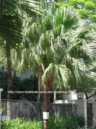Chinensis palm
